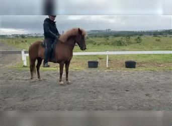 Icelandic Horse, Mare, 9 years, 13.2 hh, Chestnut-Red