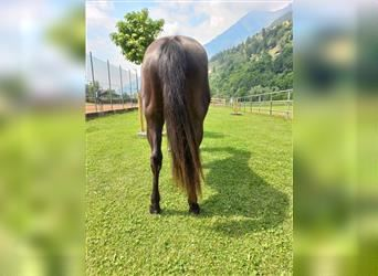 Quarter Horse, Mare, 2 years, 15 hh, Smoky-Black