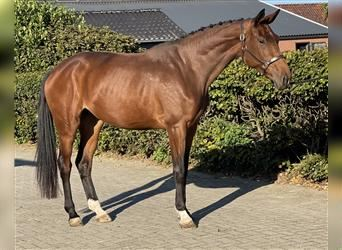 KWPN, Mare, 3 years, 16.2 hh, Brown