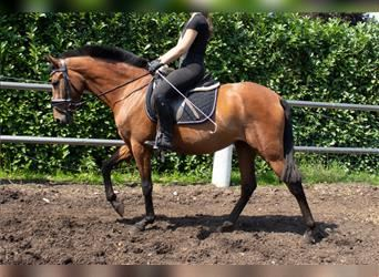 P.R.E. Mix, Mare, 4 years, 14.3 hh, Brown