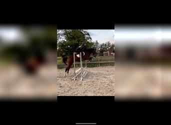 Welsh A (Mountain Pony), Mare, 4 years, 10.2 hh, Gray