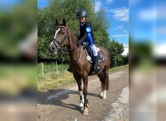 Welsh B, Mare, 15 years, 13.1 hh, Chestnut-Red
