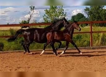 Other Warmbloods, Mare, Foal (03/2021), 16.3 hh, Brown