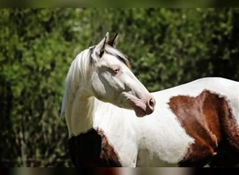 Paint Horse, Mare, 4 years, 14.2 hh, Tovero-all-colors