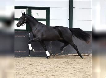 KWPN, Mare, 2 years, 16.2 hh, Smoky-Black