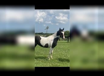 Spotted Saddle Horse, Jument, 12 Ans, 147 cm, Tobiano-toutes couleurs
