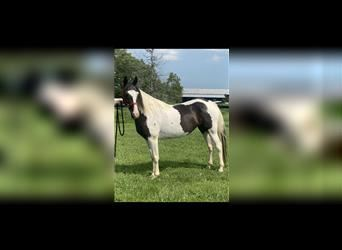 Spotted Saddle Horse, Stute, 12 Jahre, 147 cm, Tobiano-alle-Farben