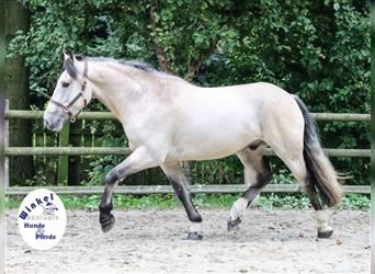Gypsy Horse Mix, Gelding, 3 years, 15.2 hh, Palomino