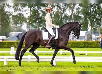 KWPN, Mare, 6 years, 16.1 hh, Black