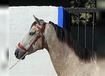 Andalusian Mix, Gelding, 5 years, 15.2 hh, Gray-Red-Tan