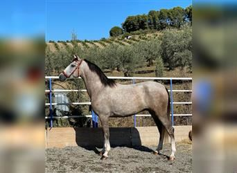 Andalusier Mix, Wallach, 5 Jahre, 160 cm, Rotschimmel