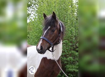 Pintos Mix, Mare, 4 years, 13.1 hh, Pinto