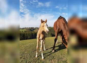 German Riding Horse, Mare, Foal (05/2021), 15.1 hh, Palomino