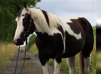 Paint Horse, Gelding, 10 years, 15.1 hh, Pinto