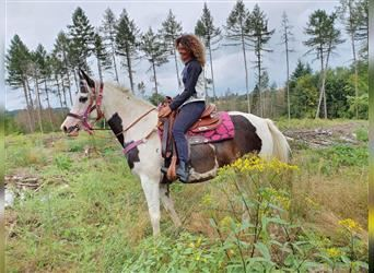 Pintos, Mare, 5 years, 15.1 hh, Pinto