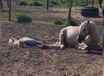 Lusitano, Mare, 2 years, 15.2 hh, Gray-Red-Tan