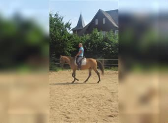 More ponies/small horses, Mare, 4 years, 14.2 hh, Buckskin