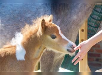 American Miniature Horse, Stallion, Foal (05/2021), 7.1 hh, Tobiano-all-colors