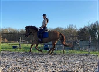 Arabian Partbred Mix, Mare, 10 years, 14.1 hh, Sorrel