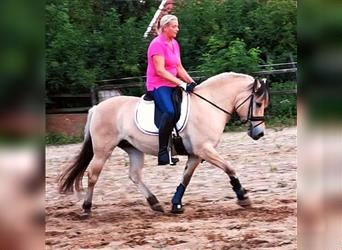 Fjord Horses, Mare, 9 years, 14.1 hh, Dun