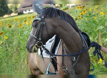 German Riding Pony, Mare, 12 years, 14.2 hh, Grullo