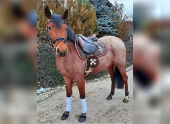 German Riding Pony, Mare, 4 years, 14.1 hh, Gray-Red-Tan