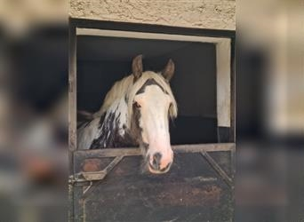 Gypsy Horse, Mare, 3 years, 14.2 hh, Pinto