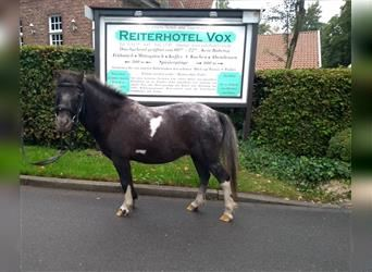 Shetland Ponies, Mare, 8 years, 9.1 hh, Pinto