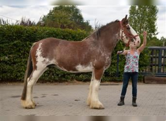 Clydesdale, Jument, 10 Ans, 175 cm, Roan-Bay