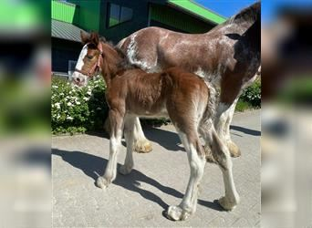 Clydesdale, Mare, 10 years, 17 hh, Roan-Bay