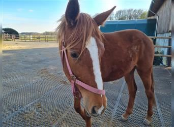 Hanoverian, Mare, 2 years, 16 hh, Chestnut-Red