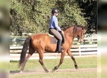 Andalusier, Stute, 11 Jahre, Rotbrauner