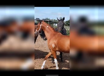 Classic Pony, Gelding, 4 years, 13 hh, Tobiano-all-colors