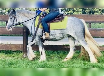Gypsy Horse, Mare, 3 years, 14.1 hh, Overo-all-colors