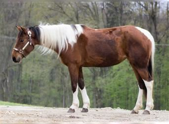 Paint Horse, Mare, 5 years, 14.2 hh, Tobiano-all-colors