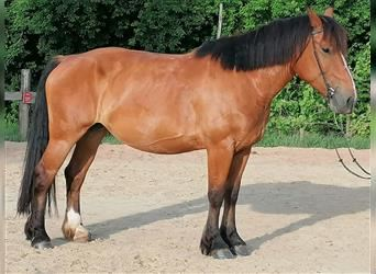 Belgian Draft Mix, Mare, 6 years, 16.2 hh, Bay