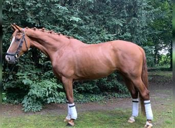Hanoverian, Mare, 1 year, 16 hh, Chestnut-Red