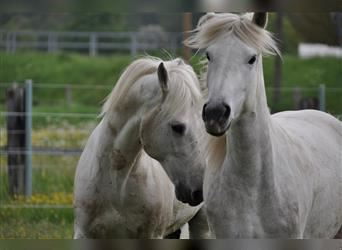 Camargue, Mare, 4 years, 14.1 hh, Gray