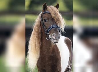 More ponies/small horses, Stallion, 7 years, 8.1 hh, Pinto