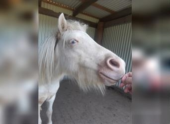 Shetland Ponies Mix, Mare, 2 years, 8.2 hh, Brown