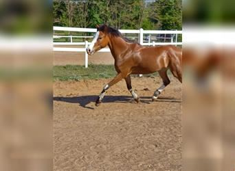 Welsh B Mix, Mare, 7 years, 13.1 hh, Roan-Red