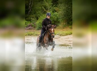 Hanoverian, Mare, 4 years, 14.2 hh, Brown