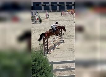 Other Warmbloods, Mare, 5 years, 16 hh, Bay