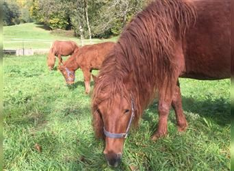 Mongolian Pony, Stallion, 6 years, 13 hh, Chestnut-Red