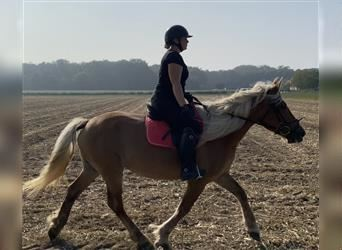 South German Coldblood, Mare, 13 years, 15.2 hh, Chestnut-Red