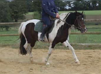 Curly Horse, Stute, 4 Jahre, 150 cm, Tobiano-alle-Farben