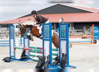 More ponies/small horses, Gelding, 9 years, 13.2 hh, Pinto