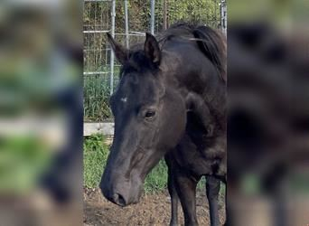 KWPN, Mare, 4 years, 16.1 hh, Smoky-Black