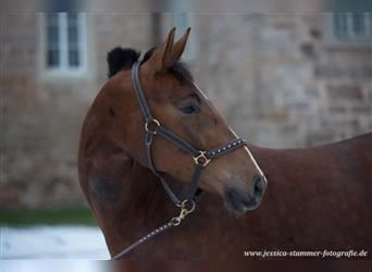 German Riding Horse, Mare, 3 years, 16 hh, Chestnut