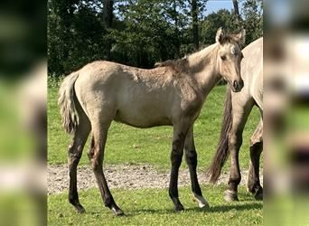 More ponies/small horses, Stallion, Foal (05/2021), 14.2 hh, Grullo